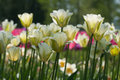 Closeup of light yellow tulip flowers on spring sunny day Royalty Free Stock Photo