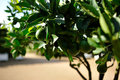 Closeup lime tree Royalty Free Stock Image