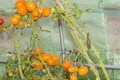 Closeup into a little greenhouse on ripe organic orange tomatoes Royalty Free Stock Photo