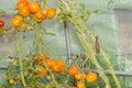 Closeup into a little greenhouse on ripe organic orange tomatoes Royalty Free Stock Photo