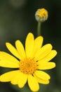 Closeup Of A Little Yellow Flo...
