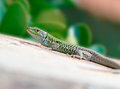 Closeup lizard wall Royalty Free Stock Image