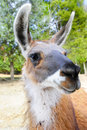 Closeup of a Llama Royalty Free Stock Photography