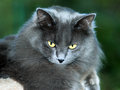 Closeup of long haired gray cat with golden eyes looking downwards from top scratch post isolated against blurred green Royalty Free Stock Photos