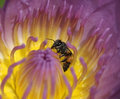 Closeup lotus and bee in morning Royalty Free Stock Photo