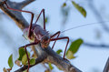 Closeup macro of armored cricket insect in Angola Royalty Free Stock Photo