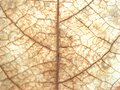 Closeup macro brown dry leaf with dead leave detail and blurred for background or texture Royalty Free Stock Photo