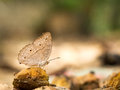 Closeup macro of butterfly eating food in jungle the beauty of nature Royalty Free Stock Photo