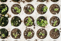 Closeup macro of young basil plants seedlings in styrofoam flat lay overview Royalty Free Stock Photo