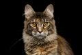Closeup Maine Coon Cat Portrai...