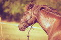 Closeup of majestic graceful brown horse Royalty Free Stock Photo