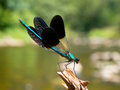 Closeup of a male banded demoiselle dragonfly calopteryx splendens on a twig in its natural river habitat Stock Photography