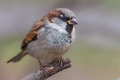Closeup of a male sparrow in breeding plumage image house passer domesticus perching on dry twig late autumn park Stock Photo