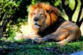 Closeup of mane lion Royalty Free Stock Photo