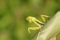 Closeup of mantis Royalty Free Stock Images