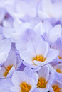 Closeup of many beautiful light purple crocus flowers blossoming Royalty Free Stock Images