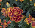 Closeup of a Marigold bloom with morning dew Royalty Free Stock Photo