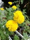 Marigold flowers closeup Royalty Free Stock Photo