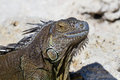 Closeup of a mexican Iguana Royalty Free Stock Photo