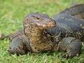 Closeup of monitor lizard Stock Photos