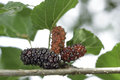 Closeup of mulberry on tree use green leaf food for silk cocoons with silk worm Royalty Free Stock Photo