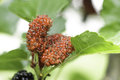 Closeup of mulberry on tree use green leaf food for silk cocoons with silk worm Royalty Free Stock Image