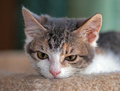 Closeup of muted calico kitten portrait month old leaning chin on carpet looking drowsy Stock Photos
