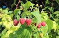 Closeup of the natural raspberries bush in the garden growing Royalty Free Stock Images