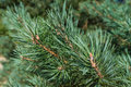 Closeup of needles of a scots pine detailed view the or pinus sylvestris growing from the branches Royalty Free Stock Images