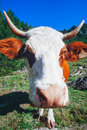 Closeup nose of curious cow on alpine pasture Royalty Free Stock Photo