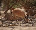 Closeup of a Nubian Ibex in Ein Gedi, Israel Royalty Free Stock Photo