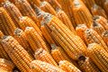 Closeup old dried corn cobs background Royalty Free Stock Photo