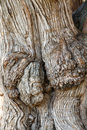 Closeup of Old Gnarled Oak Tree Royalty Free Stock Photo