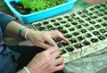 Closeup of old woman`s hands planting vegetable seedling in pla Royalty Free Stock Photo