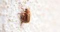 Closeup of one maybug on a wall white by daylight Royalty Free Stock Photography
