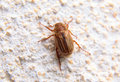 Closeup of one maybug on a wall white by daylight Royalty Free Stock Image