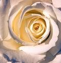 Closeup one white rose Royalty Free Stock Photo