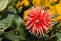 Closeup of orange cactus dahlia flower Royalty Free Stock Photo