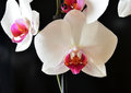 Closeup of orchids white details Royalty Free Stock Images