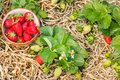 Organically grown strawberry plants with ripe strawberries in china bowl Royalty Free Stock Photo
