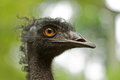 Closeup of a ostrich Stock Photography