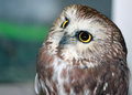 Closeup of an owl a curious Royalty Free Stock Photo