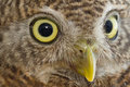 Closeup of owl eye in front white background Royalty Free Stock Photography