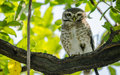 Closeup of Owl with green leaves Royalty Free Stock Photo