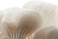Closeup oyster mushroom fresh organic phoenix indian growing on soil in plastic bag Stock Image