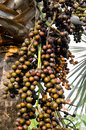 Closeup of the palm tree fruits on Royalty Free Stock Photo