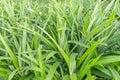 Closeup of pandan leaf in the garden Royalty Free Stock Photos