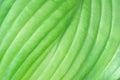 Closeup of Patterns in Hosta Leaf