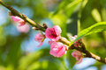 Closeup peach blossom blooming on branch day light Stock Photo