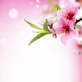 Closeup of peach flower copy space for your text Royalty Free Stock Photography